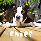Featured Pet - CHIEF